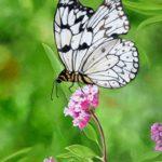 Jo Morris Paintings Butterfly 2
