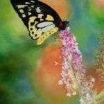 Jo Morris Paintings butterfly 3